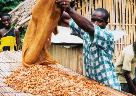 Jean Claude spreading already fermented coco out to dry.